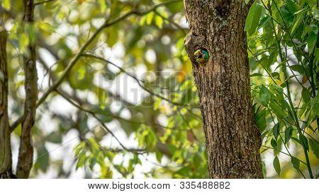 A Bird Taiwan Barbet Inside The Hole Nest On The Tree At Taipei. Taiwan.