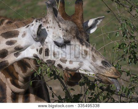 Close Up Portrait Of Giraffe Head Sticking Out Tongue. Giraffa Camelopardalis Camelopardalis Linnaeu