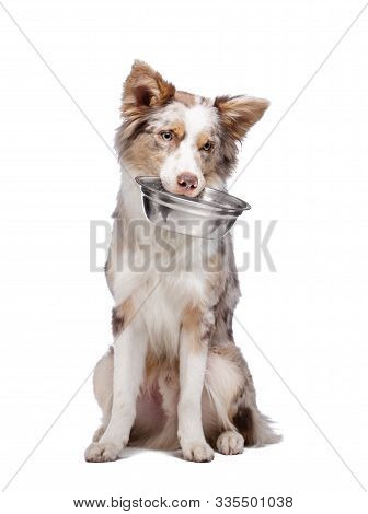 The Dog Holds A Bowl For Food In His Teeth. Healthy Food For Pets. Border Collie On A White Backgrou