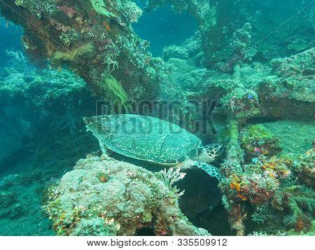 Turtle Grazing On Marine Life Growing On The Liberty Wreck In Tulamben, Bali