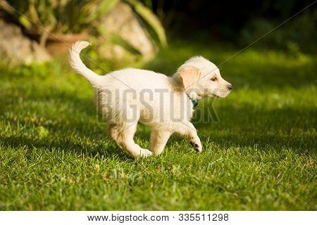 Cute Little Puppy Golden Retriever Dog Plays In Grassy Garden.