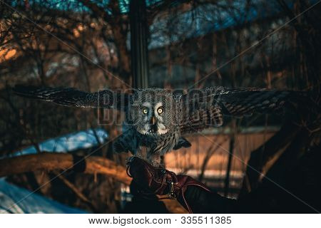 Owl With Bright Yellow Eyes Takes Off From Human Hand In Winter Park. Large Owl Flying Directly At C