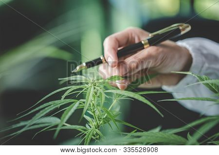 Cannabis Plant Bud In Hand Close Up. Farmer Examination Marijuana (cannabis Sativa) Flowering Cannab
