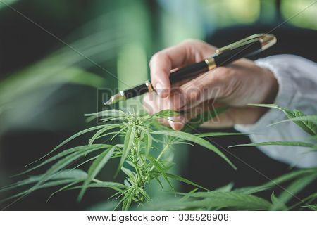 Cannabis Plant Bud In Hand Close Up. Farmer Examination Marijuana (cannabis Sativa) Flowering Cannab