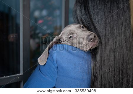 Caring And Loving A Dog . Girl Holds Chic Dog Weimaraner Puppy, Funny Puppy Looks Into The Camera. E