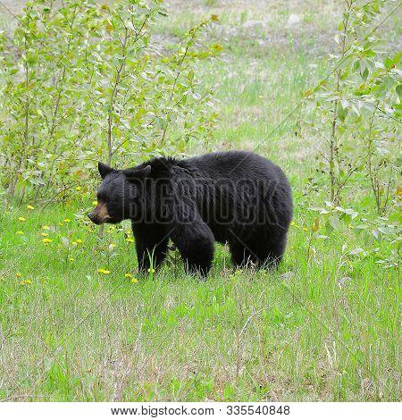 Black Bear By Medicin Lake. Jasper National Park. Canada.