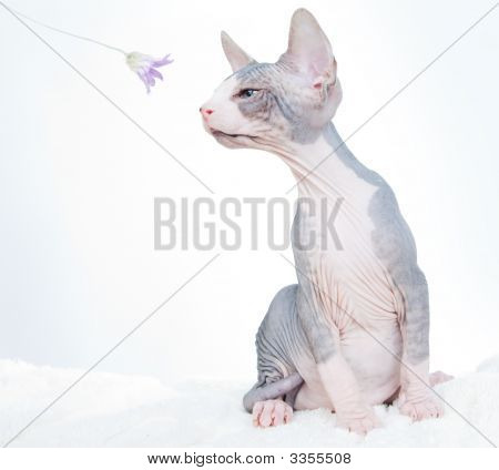 Funny sphinx cat with flower isolated in studio poster