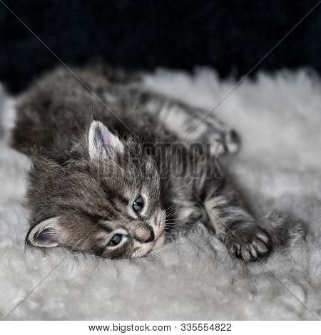 Sibirian Cat Young Kitten In A Swedish Home