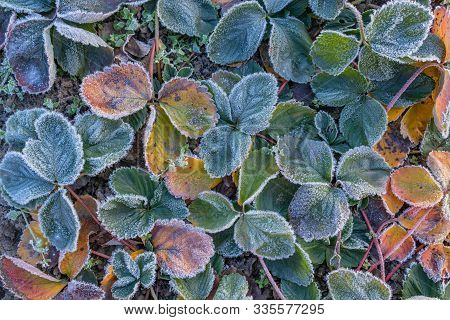 Strawberry Leaves Covered With Frost In The First Autumn Frosts, Abstract Natural Background. Green