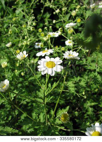 Blooming Tanacedum Parthenium (feverfew) Plant In A Garden