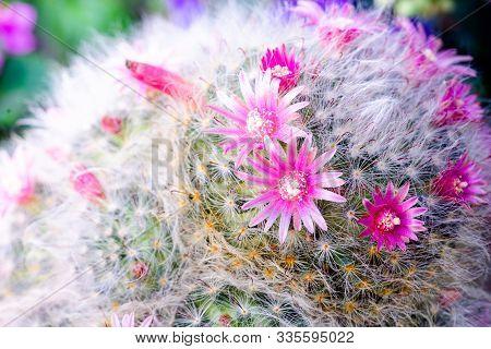 Beautiful Pink Flower Mammillaria (m.bocasana Poseig) In Pot