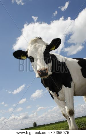 Single Cow In Green Field