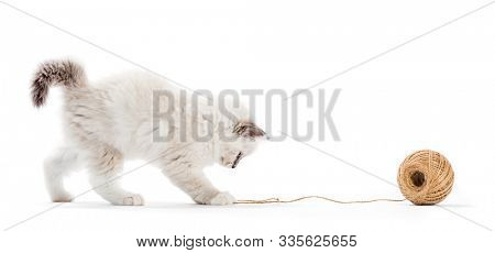 Ragdoll cat, kitten playing with cotton yarn. Isolated on white background. Purebred