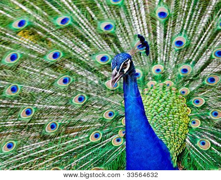 Peacock Raise His Feathers