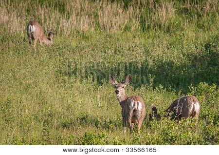 Three Mule Deer (Odocoileus hemionus)
