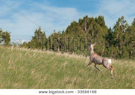 Mule Deer (Odocoileus hemionus) Moves Up Hill