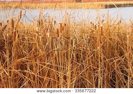Some Cattails In There Fall Foliage Along A Pond In Fargo Nd