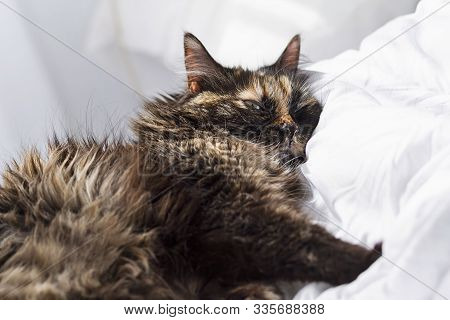 A Long Haired Female Cat Having Rest Over A Bed