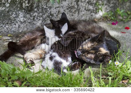 A Mother Cat Breastfeeding Her Kittens In A Farm House