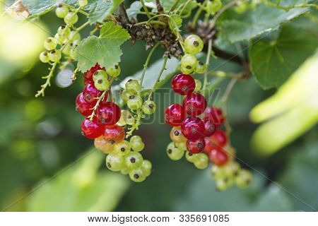 Red Currant Berries Growing In A Tree