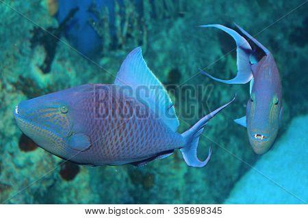 Niger Or Red Toothed Triggerfish (odonus Niger) In Aquarium