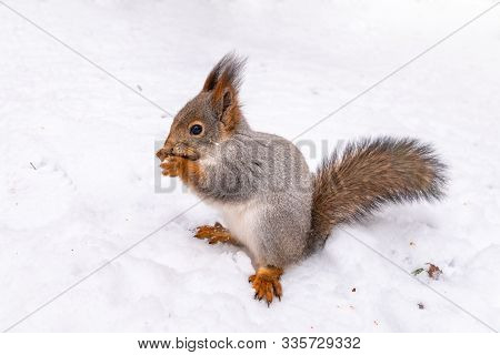 The Squirrel Sits On White Snow. Beautiful Fluffy Squirrel Eating Nuts On A White Snow In The Winter
