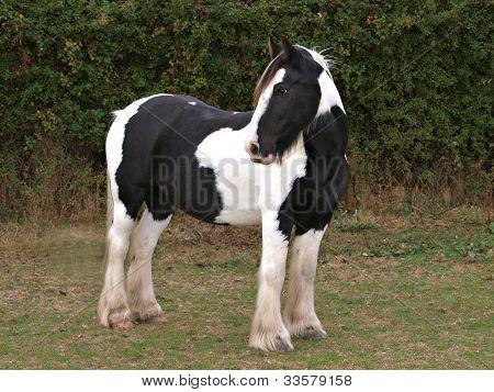 Skewbald Horse Standing