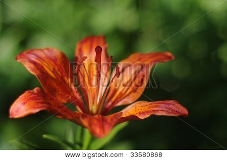 Beautiful orange lily
