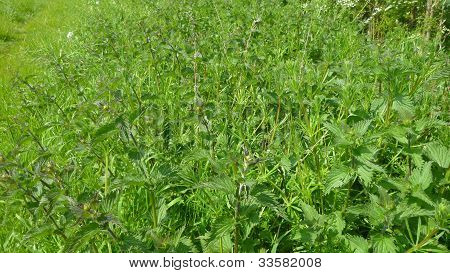 A Stinging Nettle Patch