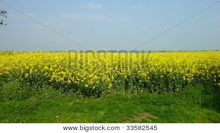 Canola / Rapeseed Field Lincolnshire, UK