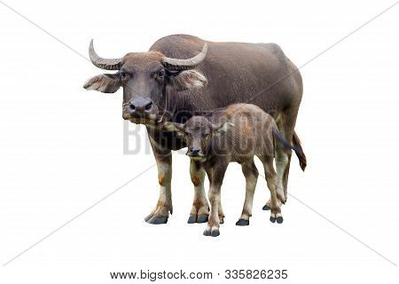 Buffaloes And Baby Buffalo Gazing (bubalus Bubalis) Or Thai Domestic Water Buffalo Isolate On White