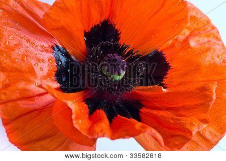Single Orange Poppy