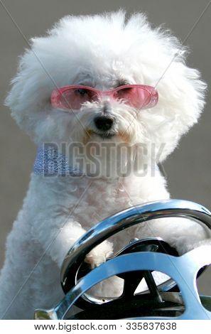 Bichon Frise Dog. Funny Dog Head Shots. Cute Smiling Pure Breed Bichon Dog.