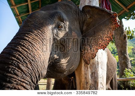 Huge Asian Elephant In The Camp.elephant Is An Wildlife Animal But They Are Very Cute. The Tourist C