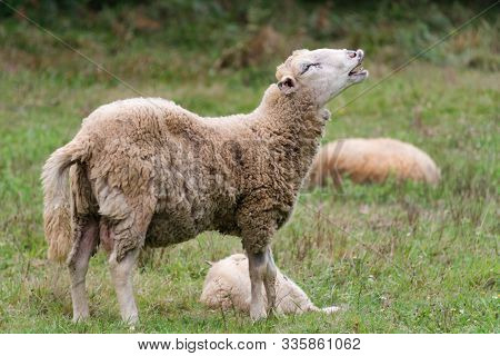 Sheep Is Crying Out. Portrait Of A Sheep Bleating. On A Meadow With Green Grass. Flock Of Sheep. Rur