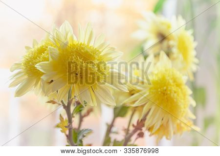 Yellow Dahlias Flowers In Vase. Flower In Vase At Sunny Day. Flowers For Postcard And Home Decoratio