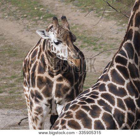 Close Up Portrait Of Giraffe Head, Giraffa Camelopardalis Camelopardalis Linnaeus, Frontal View, Gre