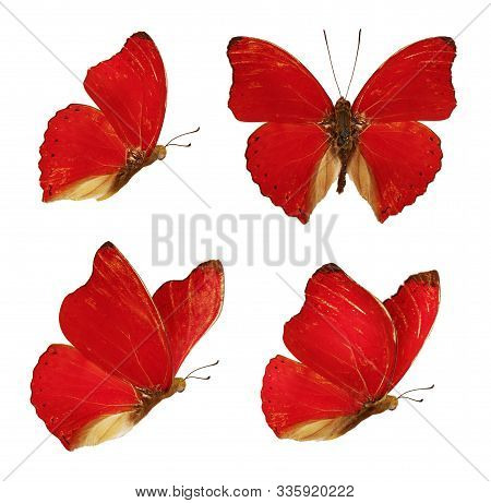 Set Of Four Beautiful Red Butterflies Cymothoe Excelsa Isolated On White Background. Butterfly Nymph