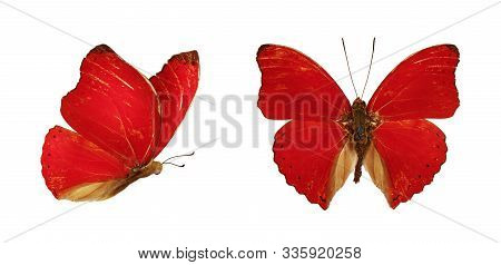 Two Beautiful Red Butterflies Cymothoe Excelsa Isolated On White Background. Butterfly Nymphalidae W