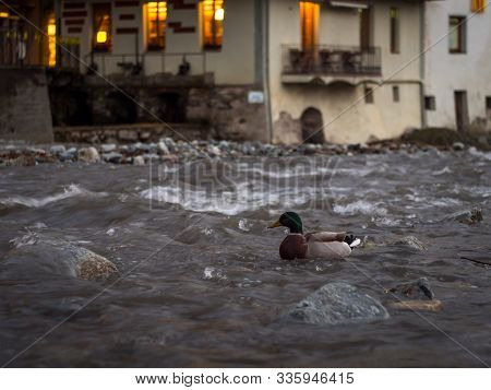 Duck On The Ter River As It Passes Through The Small Town Of Camprodon At Sunset (girona - Spain)