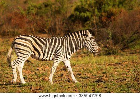 Plains Zebra (equus Quagga, Formerly Equus Burchellii, Burchell's Zebra)  Standing On The Red And Br