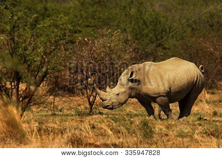 A White Rhinoceros, Rhino, (ceratotherium Simum)  Staying In Grassland With Green Trees In Backgroun