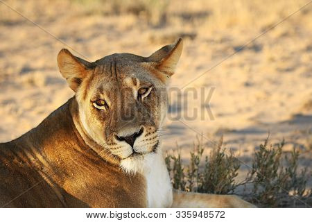 Lioness (panthera Leo) Lying In Kalahari Desert And Looking For The Rest Of Her Pride In Morning Sun