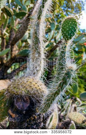 Cactus Cluster. Well Known Species Of Cactus. Nature