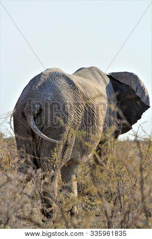 Elephant From The Back Standing In Higher Bushland, Etosha Nationalpark, Namibia, Africa