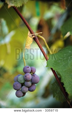 Grapesonvine