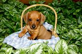 Red miniature short-haired dachshund puppy posing in a basket with a blue and white linen amongst variegated foliage poster