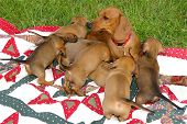 Dachshund mother with her 7 puppies playing on a blanket on the lawn poster