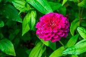 beautiful pompon dahlia flower in bloom, colorful ornamental garden flower, Cultivar specie poster