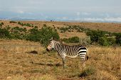 This is the Cape Mountain Zebra one of the most endangered mammals in the world wild and in its natural habitiat in South Africa. poster